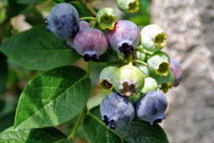 Blueberries, cranberries and concord grapes are the only three fruits native to North America.