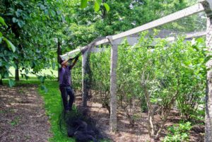 At the farm, the blueberry bushes are located near my Equipment Shed, next to my grove of quince trees. Now that the bushes are laden with fruits, it's time to place a net over the pergola to protect the berries from all the birds. Phurba drapes the net from the bottom.
