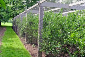 The entire patch is covered and protected. A makeshift door cut out of the netting in the back of the pergola allows people to enter and exit the patch easily when picking berries.