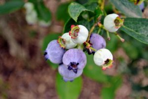 I grow many blueberry varieties, including Bluegold, Chandler, Darrow, Jersey, and Patriot.