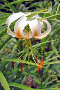 The tiger lily, Lilium lancifolium, is an Asian species of lily, native to China, Japan, Korea, and the Russian Far East.