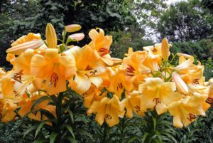These lilies are behind my Summer House. They aren't as tall, and have much stronger stems which don't need staking. These are mostly oriental hybrids, also called Orienpets. They are already blooming beautifully.