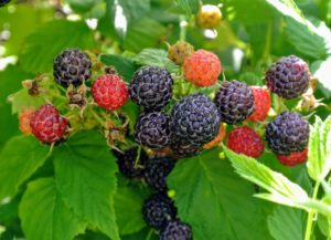 'Bristol' black raspberries are delicious. This all-purpose fruit is firm, sweet and full of flavor. It tastes great eaten fresh off the stem or made into preserves.