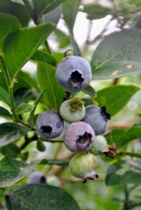 Blueberry bushes typically bear fruit in the middle of a growing season, in July, the peak of its harvest during National Blueberry month.