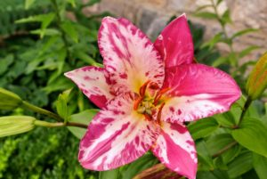 I love the striking markings of this lily. Lily markings include brush strokes like these, or spots seen on many tiger lilies.