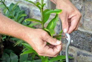 He ties twine around the stake, and then secures it gently to the stem of the plant.