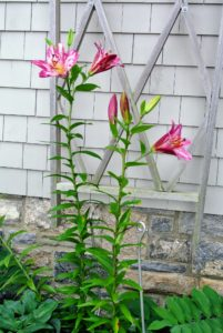 These bold pink lilies look much better when supported.