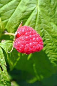 Red raspberries must be picked and handled very carefully, and checked for insects and rot. This berry is perfect.