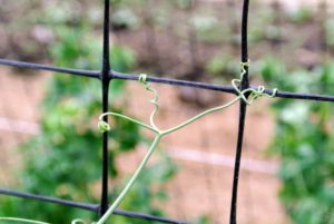 Look how these tendrils cling to the net. Pea tendrils, also known as pea shoots, are the young vines, leaves, stems, and flowers of a pea plant - all parts are edible and taste like a cross between peas and spinach.