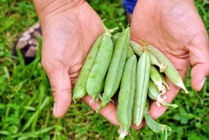 Snap peas are also edible-podded peas that differ from snow peas in that their pods are round as opposed to flat.