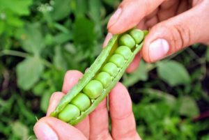 And this pea pod holds nine-peas.