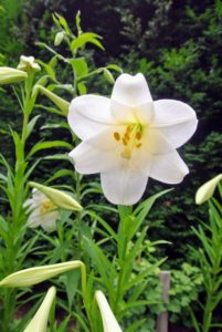 I also have them in beautiful crisp white. Lily flowers have six tepals each. The tepals are free from each other, and bear a nectary at the base of each bloom.