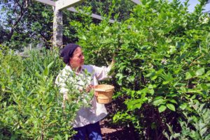 Laura likes to pick berries using small boxes or baskets and then move them into bigger bins, bowls or buckets.
