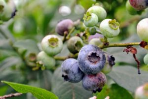 Blueberries are high in fiber, high in vitamin-C, and contain one of the highest amounts of antioxidants among all fruits and vegetables.