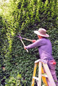 Here is Chhiring trimming the visible growth on the front of the hedge. Carpinus betulus is a hornbeam native to western Asia and central, eastern and southern Europe, including southern England. Because of its dense foliage and tolerance to being cut back, this hornbeam is popularly used for hedges and topiaries.