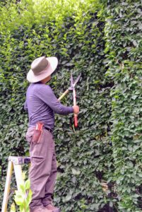 It takes Chhiring several hours to trim the front of the entire hedge.