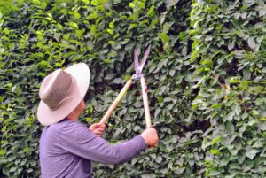 Some formal hedges can be trimmed a few times a year, especially while they are actively growing.