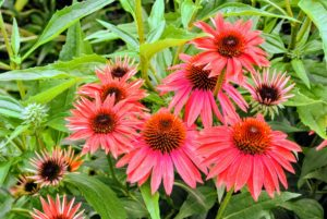 This is echinacea 'Cheyenne Spirit' - these flowers come in a mix of bright red, orange, golden yellow, and white, each surrounding a large brown cone. They are well-branched, strong and bushy specimens that brighten gardens of any size.