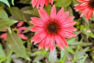 Echinacea purpurea, or purple coneflower, is a hardy perennial, with large daisy-like flowers. It makes a lovely, water-wise choice for borders, native-grass lawns and gardens.