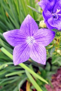 This is a balloon flower, Platycodon grandiflorus. Balloon flowers get their name from the unopened buds, which swell up prior to opening and resemble little hot-air balloons. The opened flowers resemble those of bellflowers, and while most often deep blue or purple, white and pink varieties are also available.