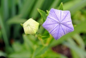 Here are two balloon flowers that are just about ready to open.