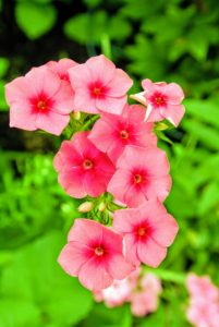 Phlox in bloom are hard to miss with their masses of small, star-shaped, colorful flowers blanketing the plants. There are several types, the most common of which are these summer-blooming tall phlox and the creeping phlox variety that grows in spring.
