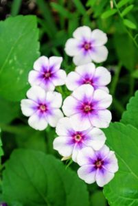 Phlox is long-blooming, hardy, and often fragrant. They come in a range of heights from two to five feet, and produce huge billows of bloom in mid to late summer.