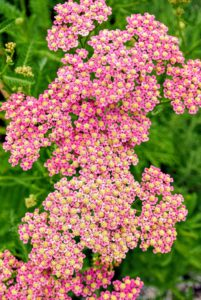 Achillea millefolium, commonly known as yarrow, is a flowering plant in the family Asteraceae. It is a hardy perennial with fernlike leaves and colorful blooms. The large, flat-topped flower clusters are perfect for cutting and drying.