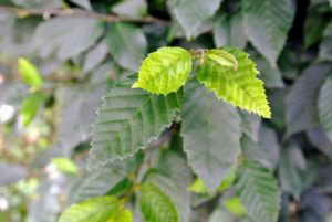 Hornbeams are often confused with the common beech because of their similar leaves; however, the hornbeam leaves are actually smaller and more deeply furrowed than beech leaves.