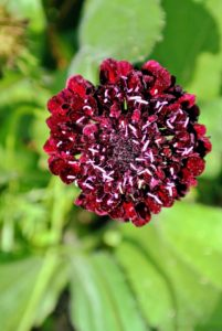 Scabiosa is in the honeysuckle family of flowering plants. Some also know members of this genus as pincushion flowers. This one is drought and deer resistant, and easily attracts bees and butterflies.