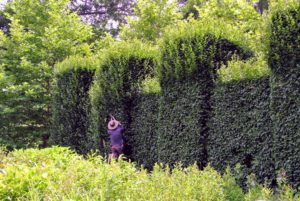 I decided to maintain this hedge using a traditional English style of pruning. A well-manicured hedge can be stunning in any garden, but left unchecked, it could look quite unruly.