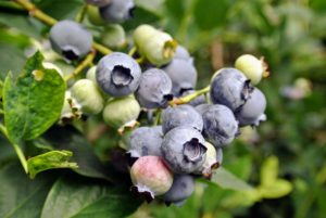 When harvesting the fruits, select plump, full berries with a light gray-blue color. A berry with a hint of red is not fully ripened.