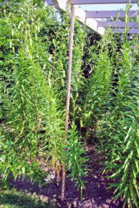 Wilmer places tall bamboo stakes along the front side of the bed - each about eight to 10-feet apart.