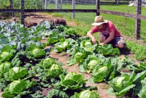 Here is Ryan picking more cabbage from our prolific patch.