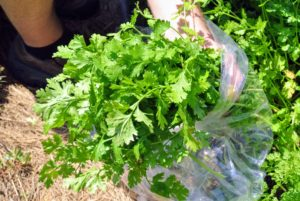 There is also a lot of fresh and fragrant cilantro. Often known in the United Kingdom as coriander, cilantro comes from the plant Coriandrum sativum. In the United States, the leaves of the plant are referred to as cilantro and the seeds are called coriander. Cilantro is also commonly known as Chinese parsley.