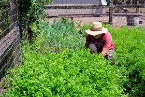 And here is Ryan picking a nice bunch of parsley.
