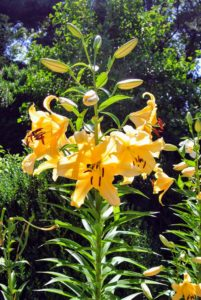 These are interspecific crosses between Oriental and Trumpet lilies. They have the sweet fragrance and shape of Oriental lilies.