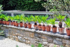 I also have smaller sago palms on this stone ledge - they look so pretty all lined up together.