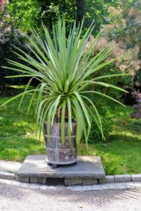 This is one of two agaves we placed by the front gate. The urn is antique, and made of lead - it weighs several hundred pounds.