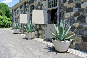 This year, we placed more potted agaves on the back side of my stable. Agaves are exotic, deer-resistant, drought-tolerant plants that can live happily in containers.
