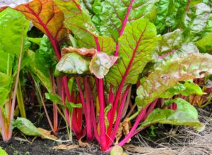 Swiss chard is a leafy green vegetable often used in Mediterranean cooking. The leaf stalks are large and vary in color, usually white, yellow, or red. The leaf blade can be green or reddish in color.