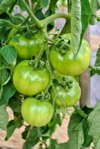 The tomatoes are growing excellently on the vines. We should be picking our first red tomatoes in another week or so.