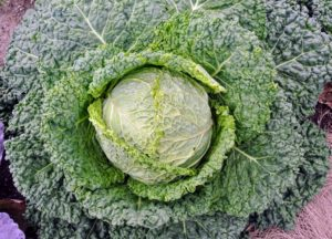 Cabbage, Brassica oleracea, is a member of the cruciferous vegetables family, and is related to kale, broccoli, collards and Brussels sprouts. The leaves of the Savoy cabbage are more ruffled and a bit more yellowish in color.