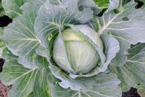 The cabbages are thriving! To get the best health benefits from cabbage, it's good to include all three varieties into the diet - Savoy, red, and green. And, don't forget, cabbage can be eaten cooked and raw.