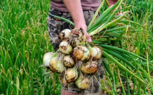 We have so many onions - they look great. There are many red, yellow, and white varieties.