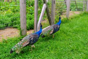 Here are two of my peacocks strolling past the vegetable garden. My peafowl are all very friendly and curious. They love to walk around the farm during the day. At night, they are returned to their coops where it is safe.