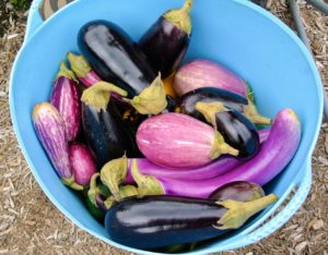 We planted several varieties. Pick eggplants when they are young and tender. Picking a little early will encourage the plant to grow more, and will help to extend the growing season.