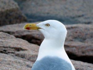 The seagull was hovering above and stopped to rest just as Rock and his family walked down the Thunder Hole steps.