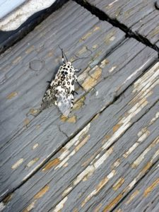 They spotted a Giant Leopard Moth on the porch - there is so much wildlife upstate.