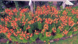 Look at all the wonderful orange blooms. These lilies can grow very tall – up to five or even six-feet, on slender stems.